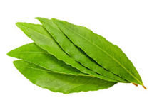 Fresh-Bay-Leaves
